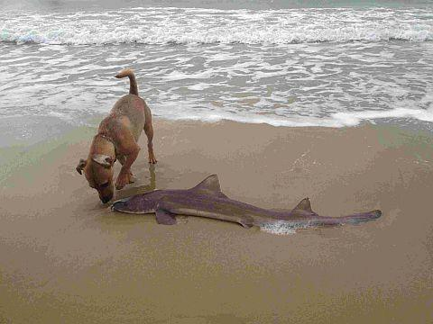 DOGGED: Poole resident Nick Knight discovered this four-foot-long starry smoothhound washed up on Sandbanks. Here his dog Eddie investigates the find
