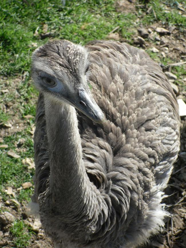 Large flightless bird stolen from pen