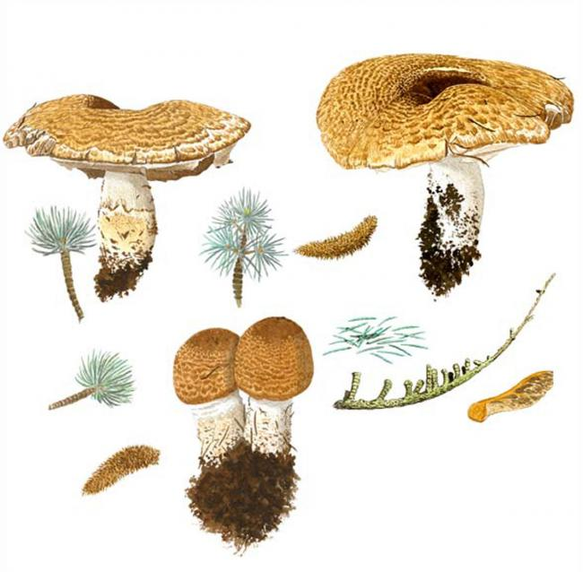 Fungi fasincation: why I've been drawing mushrooms for the past 40 years