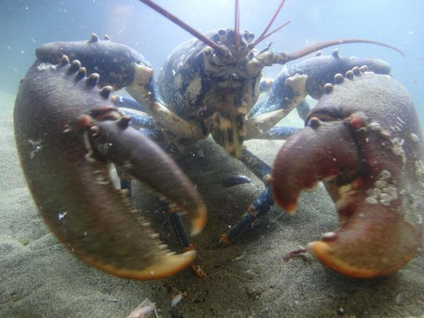 1,000 baby lobsters to be released off Dorset coast