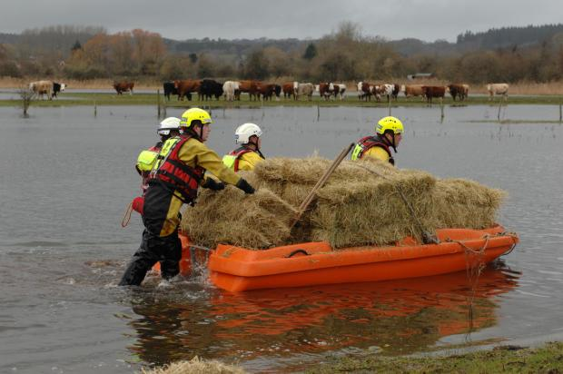 Bales of hay transported to group of cows marooned in flooded field
