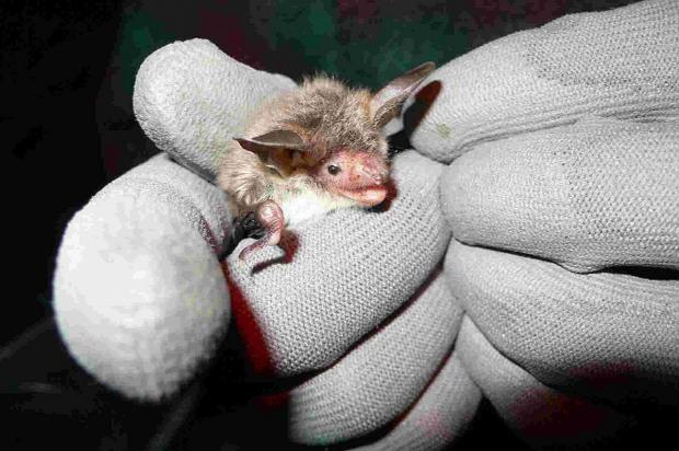 Bournemouth Echo: SURPRISING RESULT: The rare Bechstein bat.