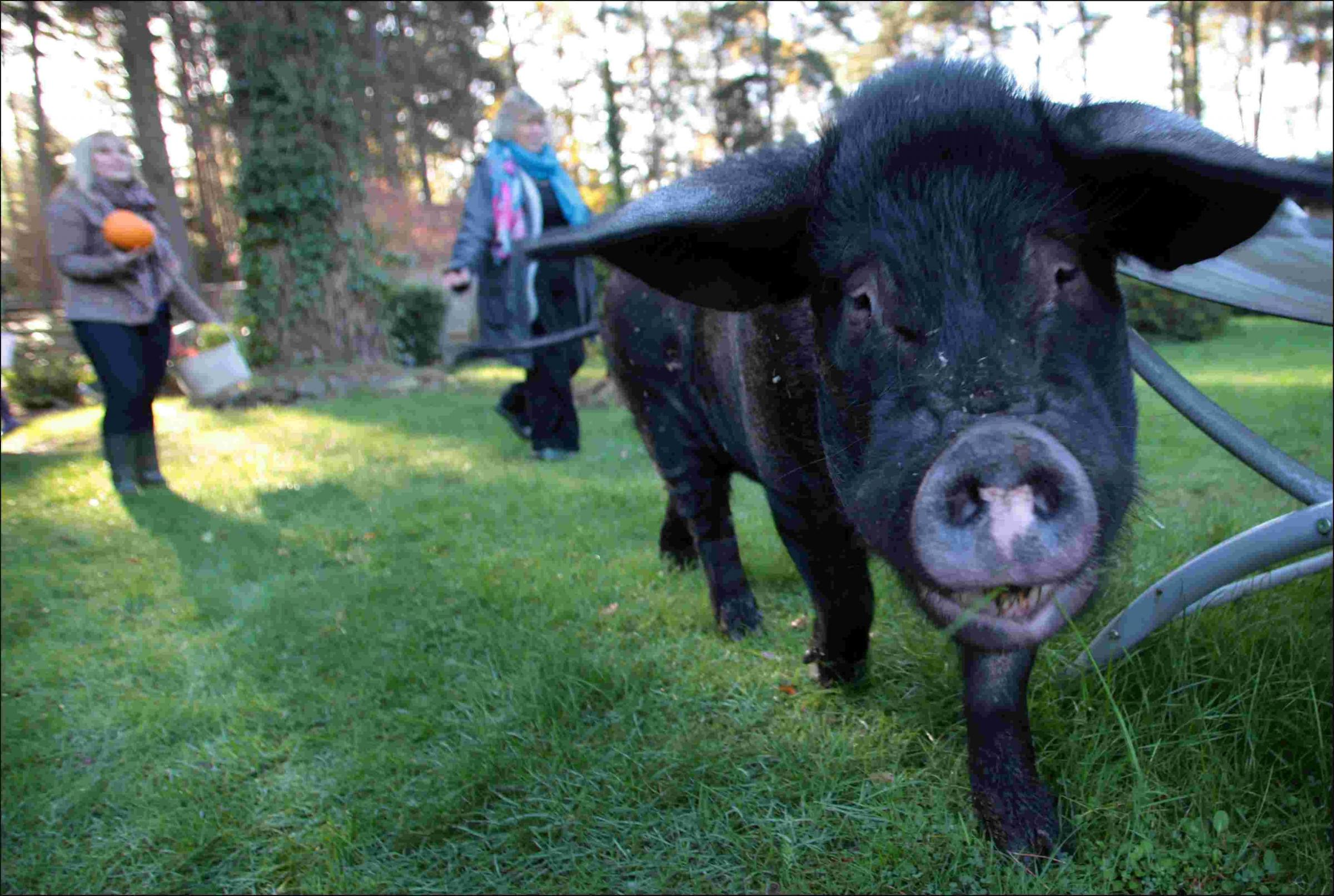 Meet Pigwig - the so-called micro pig who grew up to be a 20 stone porker