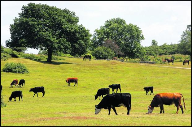 Bournemouth Echo: Bovine TB tests could halt movement of cattle in New Forest
