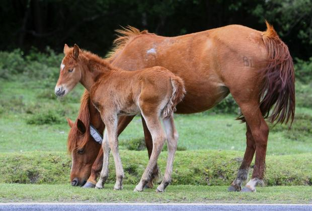 New Forest ponies now 'officially a rare breed'