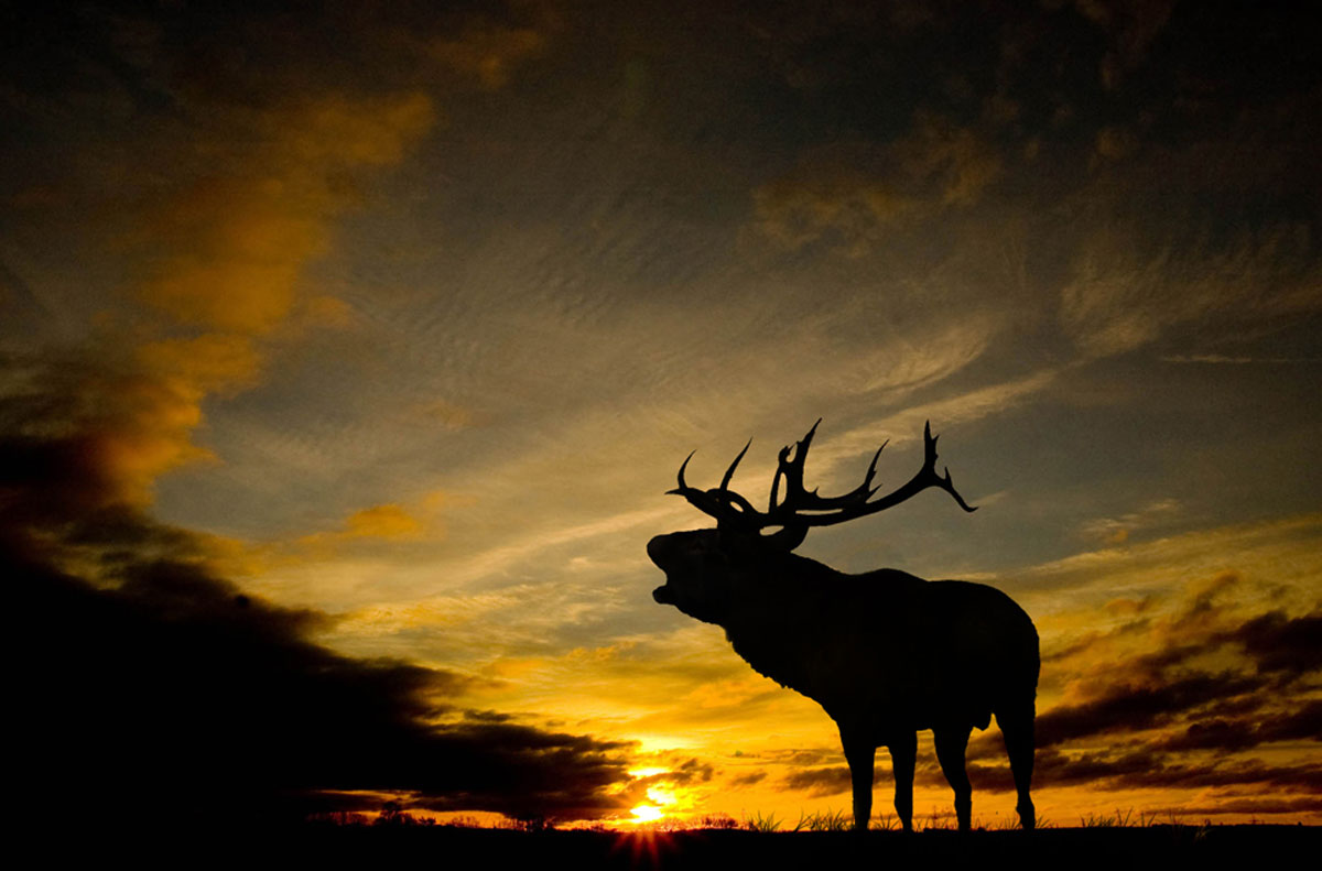 Giant red '16-pointer' stag 'shot by poachers' then found drowned