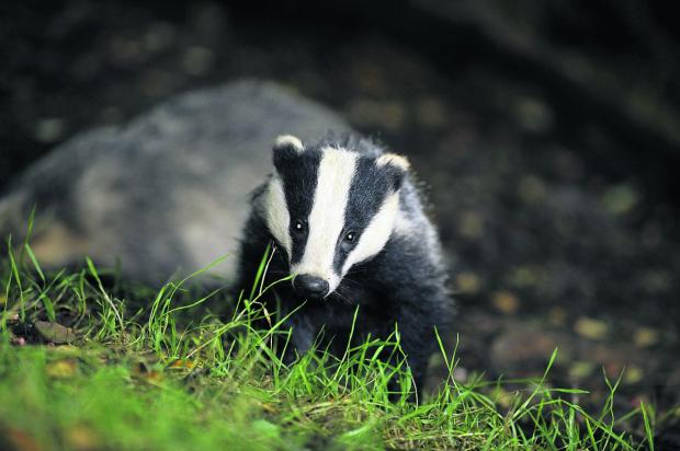 'No decision made' on Dorset badger cull