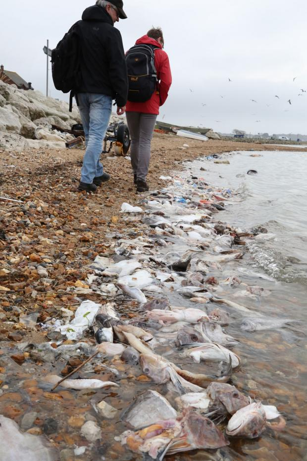 Bournemouth Echo: Hundreds of dead fish washed up at Baiter in Poole