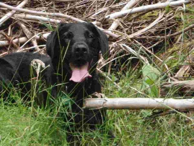 Bournemouth Echo: Kirk the labrador, who belonged to vet Siobhan Buswell
