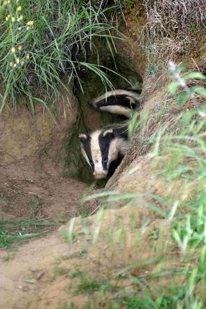 Dorset Wildlife Trust welcomes announcement over badger culling