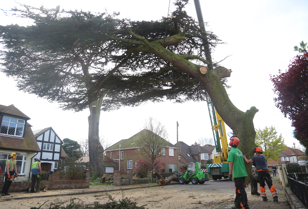 'Oldest tree in Bournemouth' is felled after disease takes hold