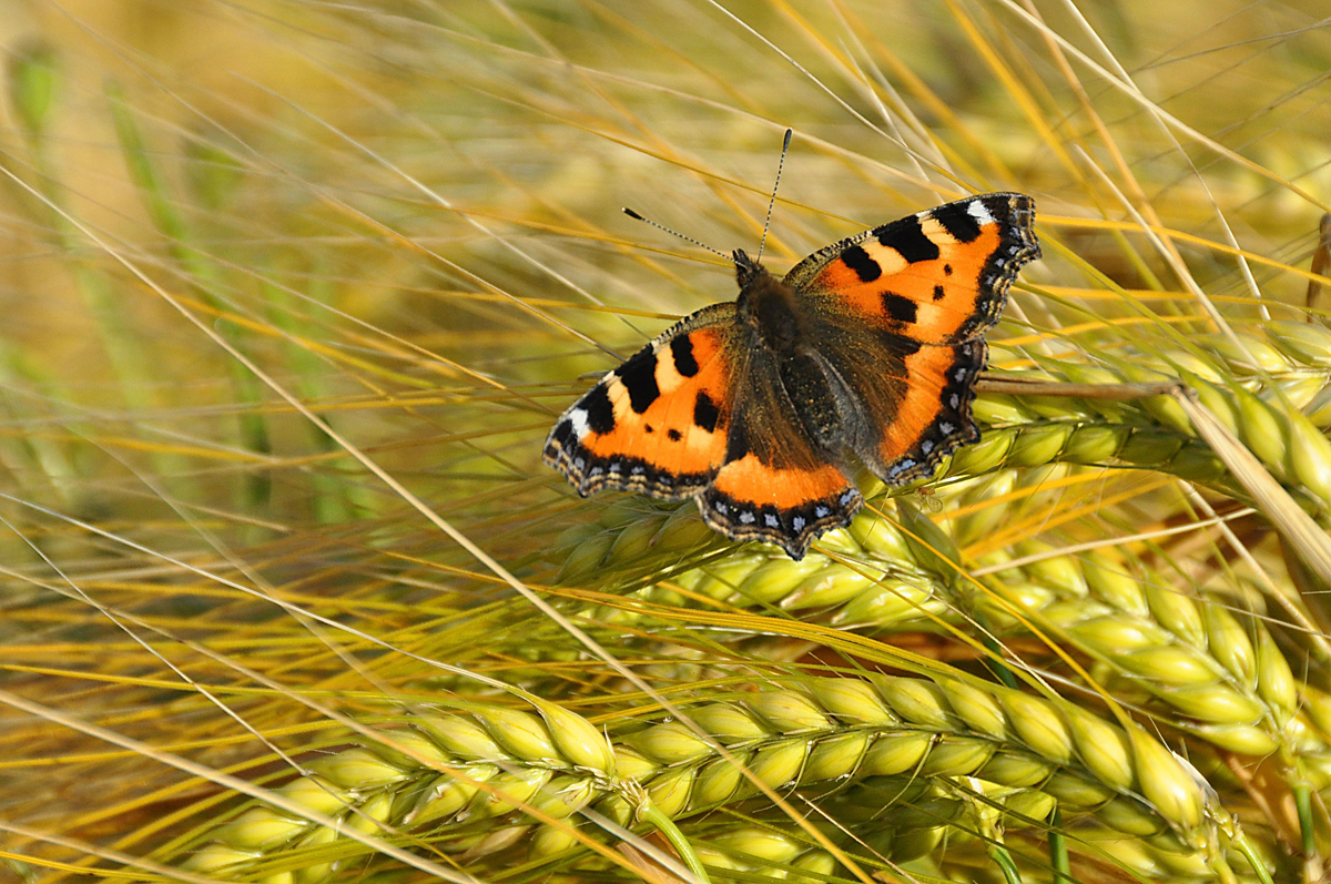 Small Tortoiseshell butterfly. Picture: Tim Melling