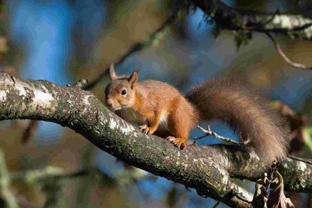 Bournemouth Echo: PROTECTION: A red squirrel on Brownsea Island