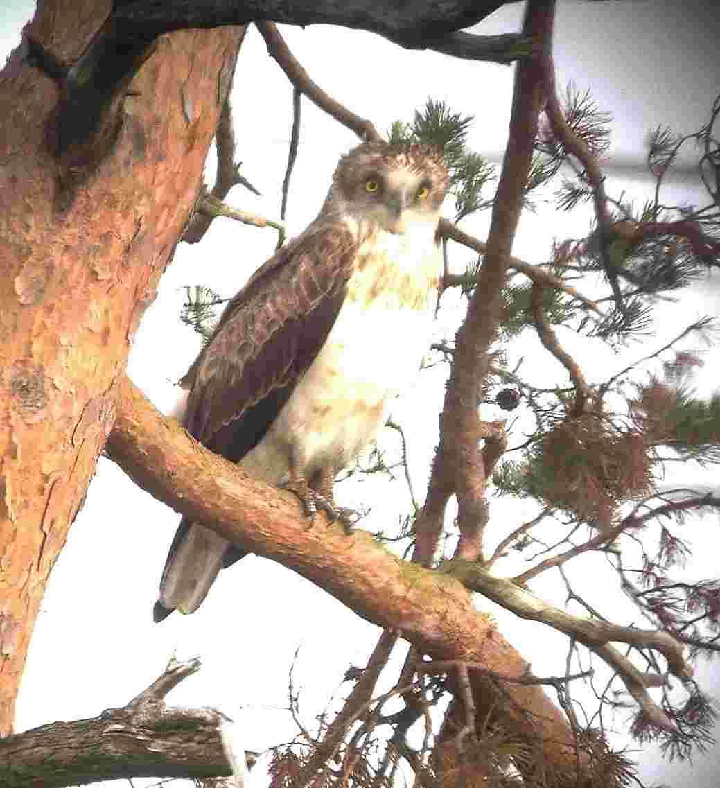 Hundreds gather to catch glimpse of rare short-toed eagle