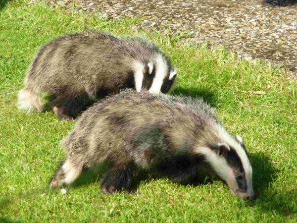 Council says badgers won't be killed on its land