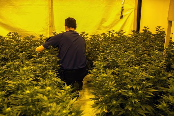 UPDATED: Two men bailed after 541 cannabis plants uncovered at 'large-scale' factory in Bournemouth