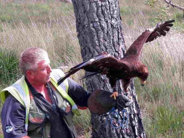IN SAFE HANDS: Russian Steppe Eagle reunited with falconer James Moore
