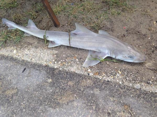 Smooth-hound shark found washed up in Poole