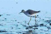 DISTINCTIVE: The Lesser Yellowlegs spotted at Brownsea