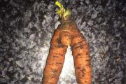 Rebecca Kempson grew this carrot in her Lower Belvedere allotment