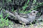 GROUND NESTER: The crepuscular Nightjar