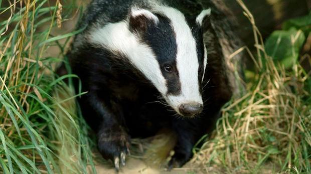 Badger cull isn't science