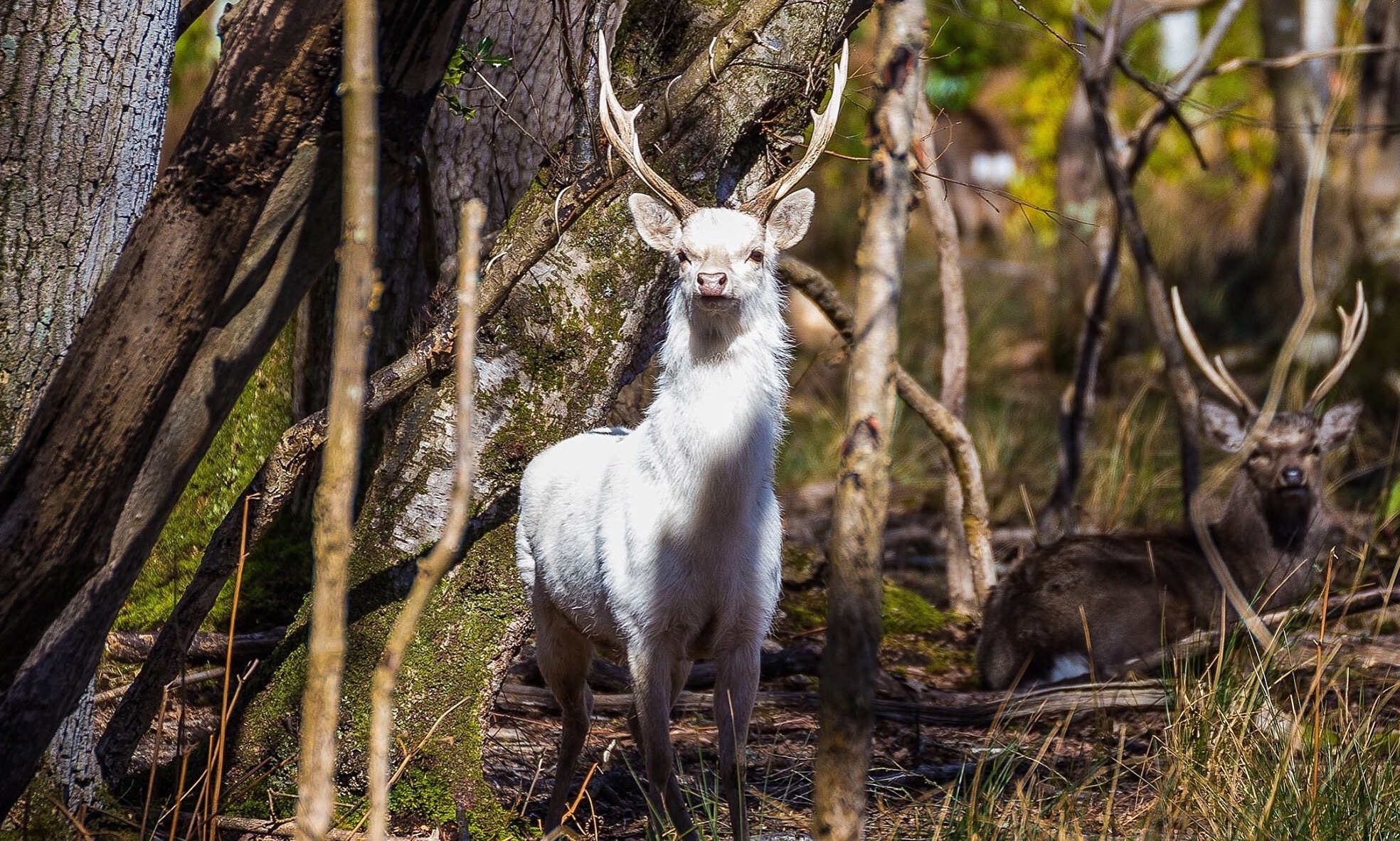 White stag spotted again at arne nature reserve bournemouth echo buycottarizona Images