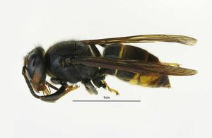 Keep your eyes peeled for Asian hornets, say experts as first sighting officially confirmed in UK