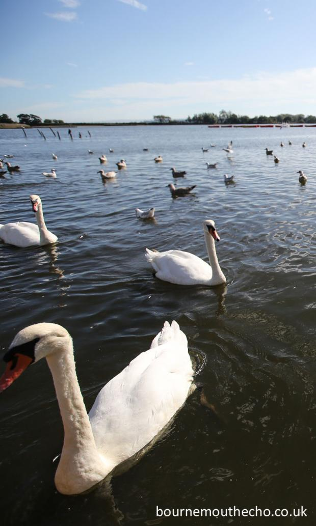 Bournemouth Echo: Swans in Poole Park. Picture by Sam Sheldon. 768x1280px