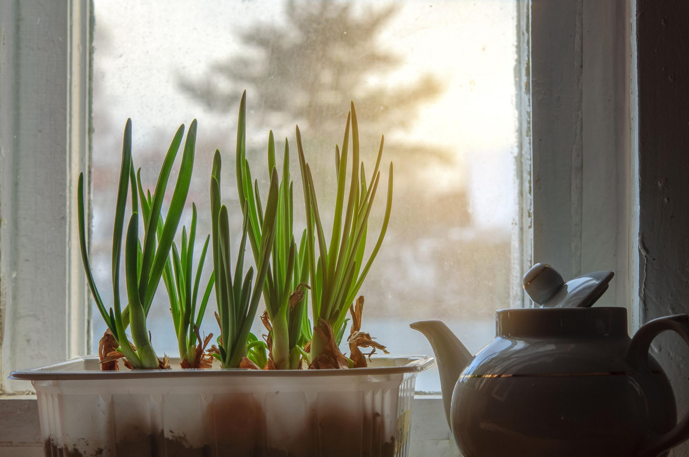How to grow microgreens and other crops on your windowsill