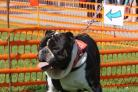 Nero the British Bulldog at the Bourne Free dog show at the Triangle on Saturday, August 26, 2017