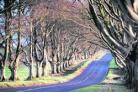 DOWN MEMORY LANE: Beech Avenue at Kingston Lacy before tree felling