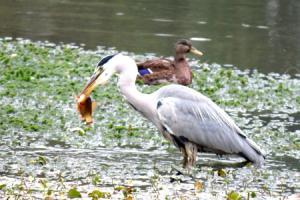 Picture of the Day: A Heron's morning catch