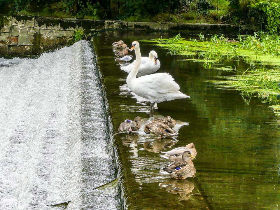 Picture of the Day: Getting your ducks in a row (and swans)
