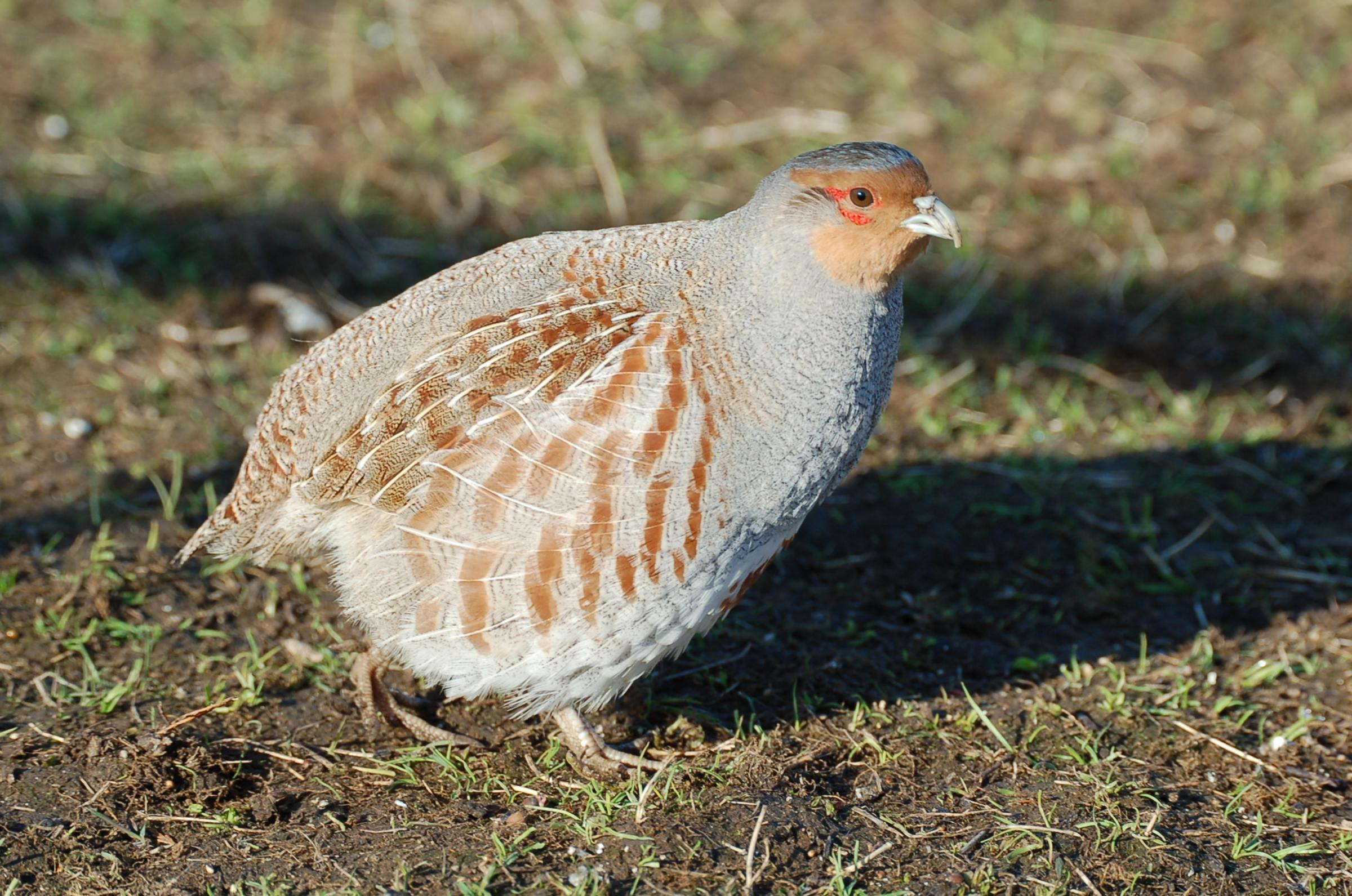 "An ""unknown number"" of partridges were stolen"