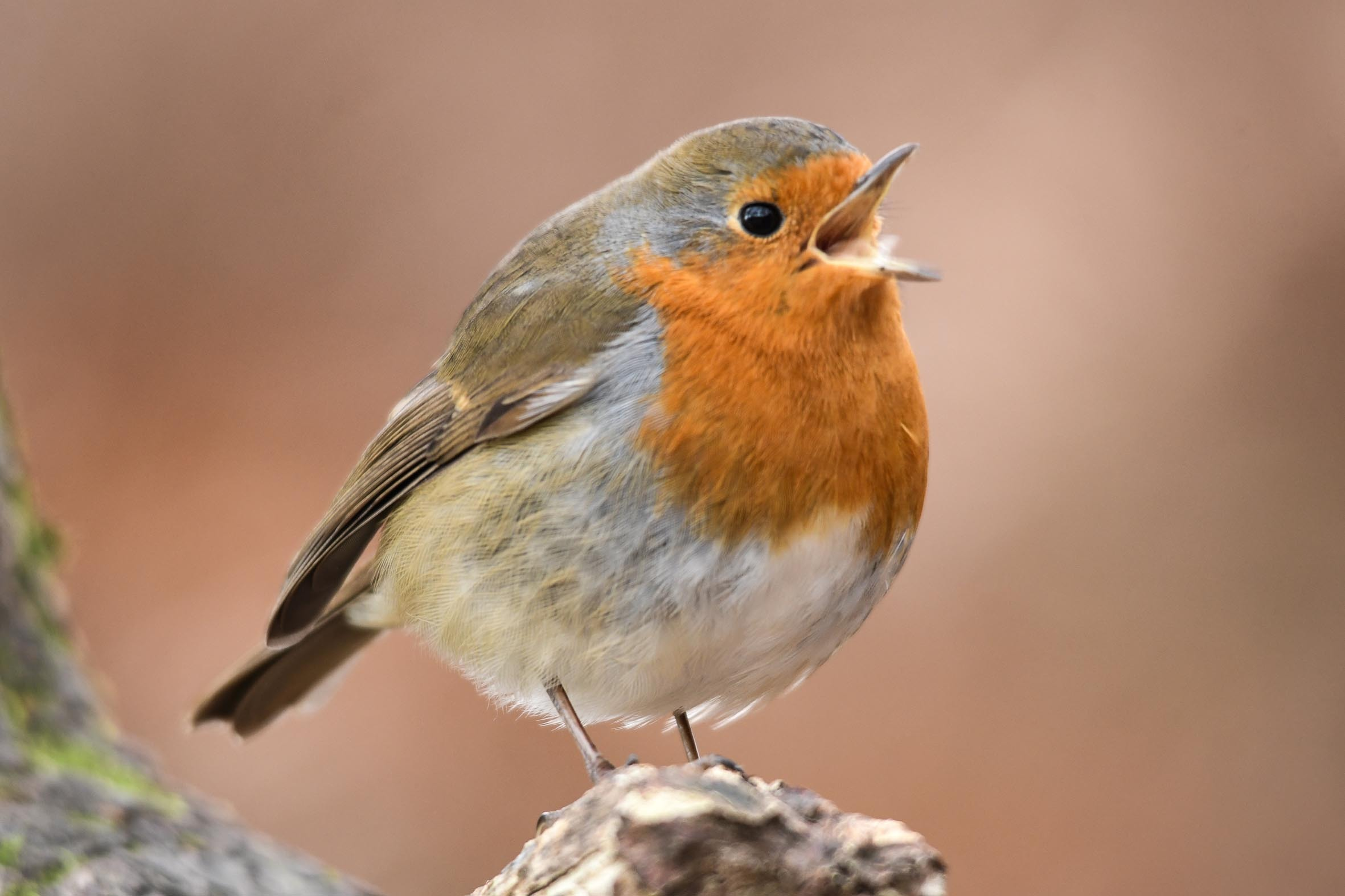 Picture of the Day: Rockin' robin