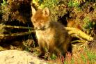 Fox cub venturing out  for the first time at Stanpit Marsh, Christchurch  this  week taken by Daily Echo reader Clinton Whale