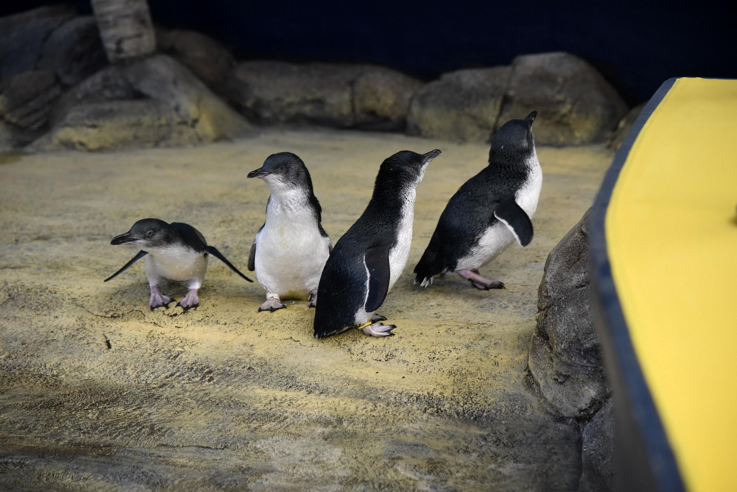 Weymouth SEA LIFE welcomes only colony of fairy penguins in Europe