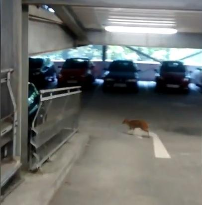 A deer trapped in a multi-storey car park in Bournemouth being rescued by RSPCA officers. Picture: RSPCA