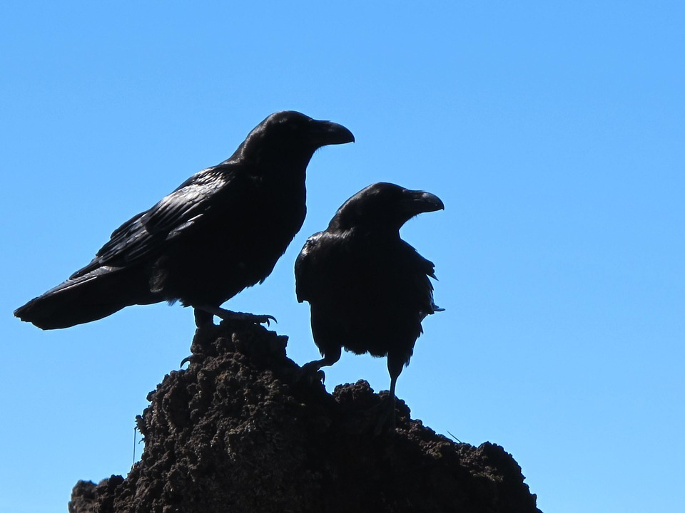 Picture of crows via Pixabay