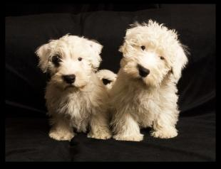 SO CUTE But Prinz And Passat Are On The Kennel Clubs Endangered List