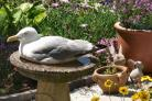 A seagull spotted cooling off in a bird bath in Poole. Picture by Tom Ashforth.