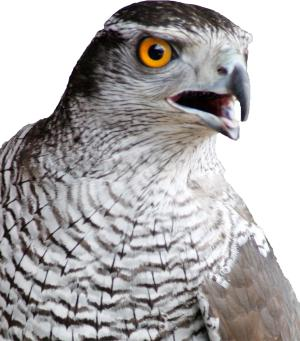 Bournemouth Echo: Goshawk