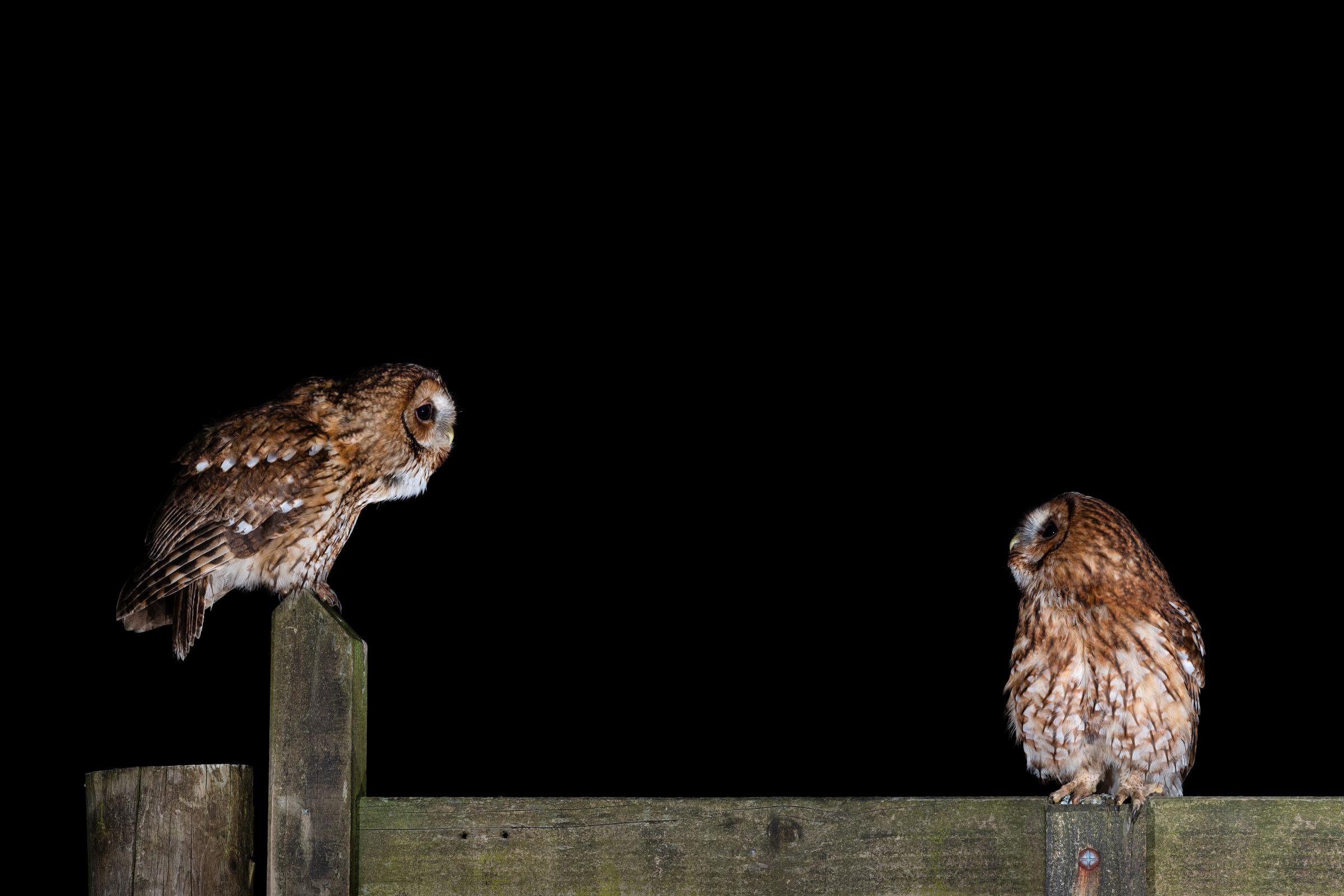 The British Trust for Ormithology has asked the public tlisten out for tawny owls. Picture: Laurence Liddy