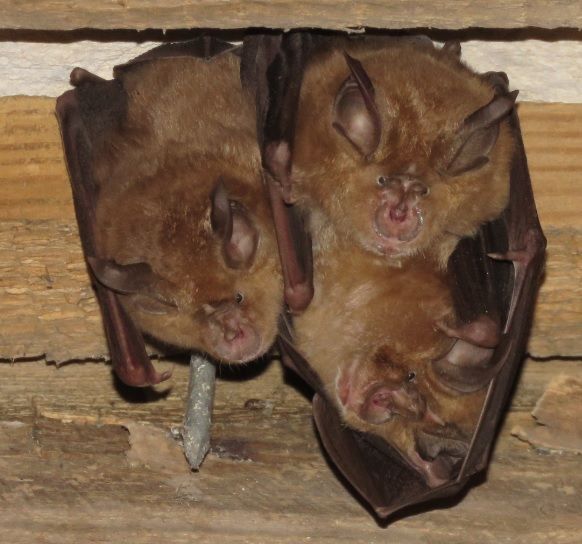Bats of Purbeck adventure walks
