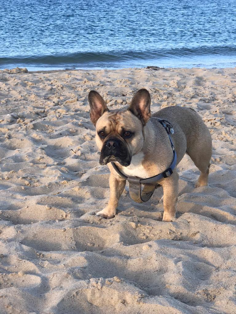 French bulldog discovers World War Two bomb on Studland beach