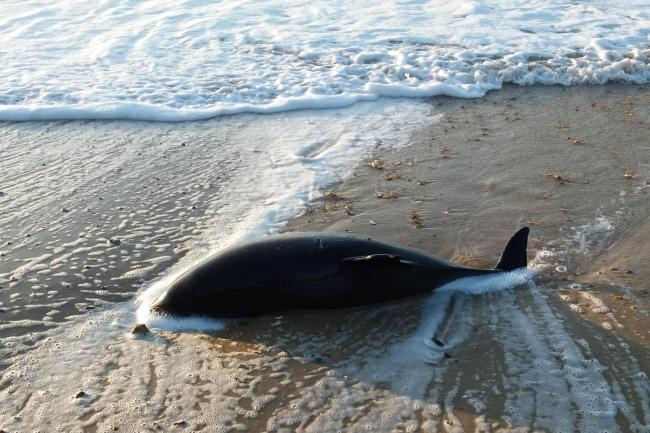 A dead porpoise washed up on the beach at Southbourne at the weekend. Picture: Andy Earley
