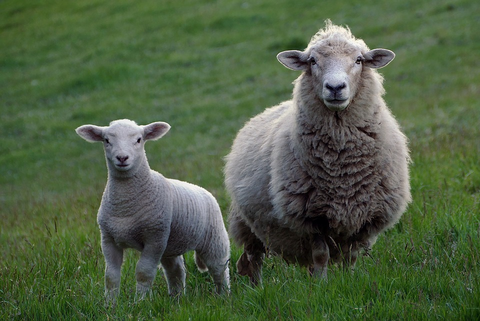 Dozens of ewes and lambs die of shock after dog escapes