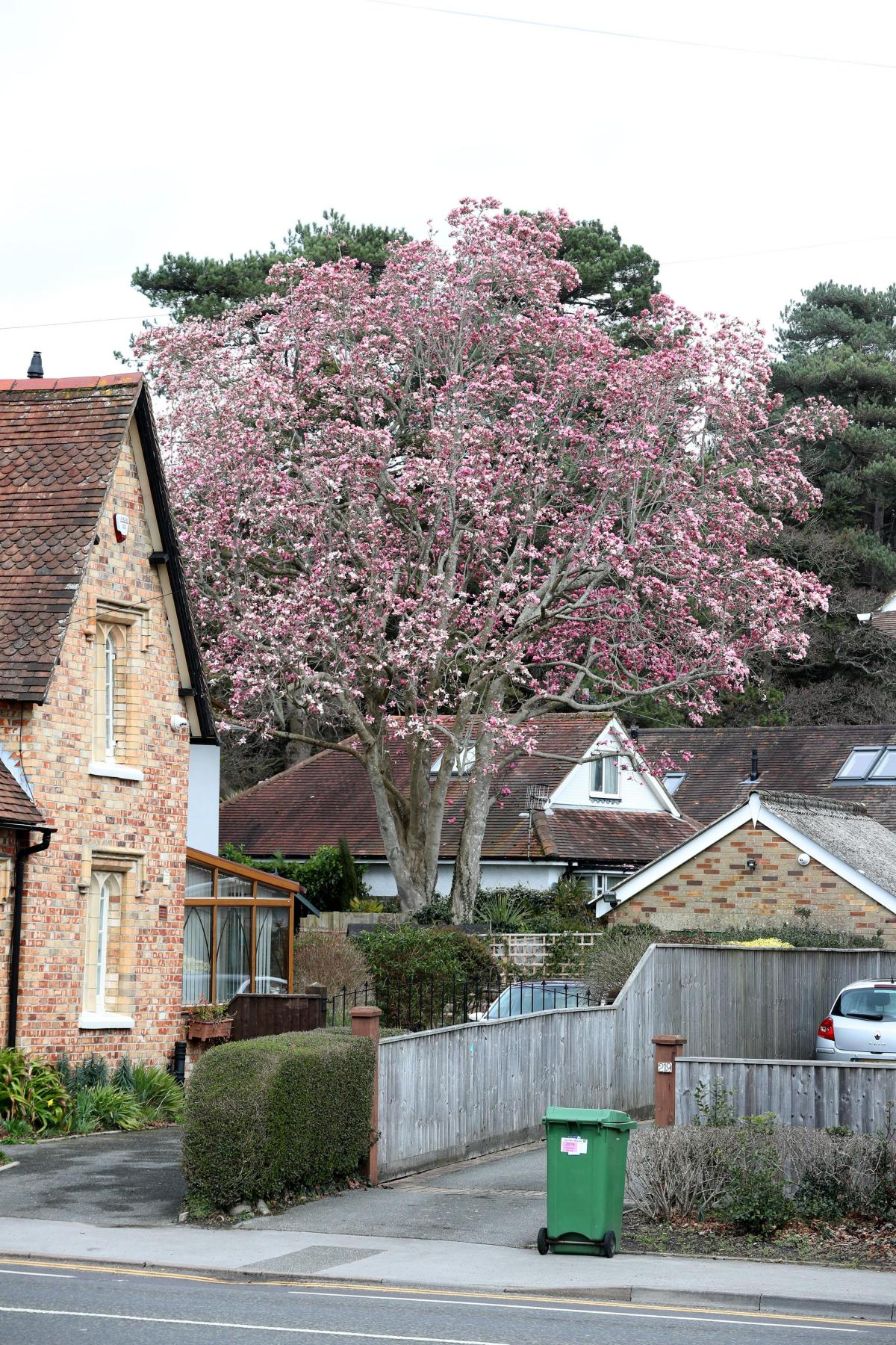 Blooming Beautiful Britains Tallest Magnolia Tree Blossoms In