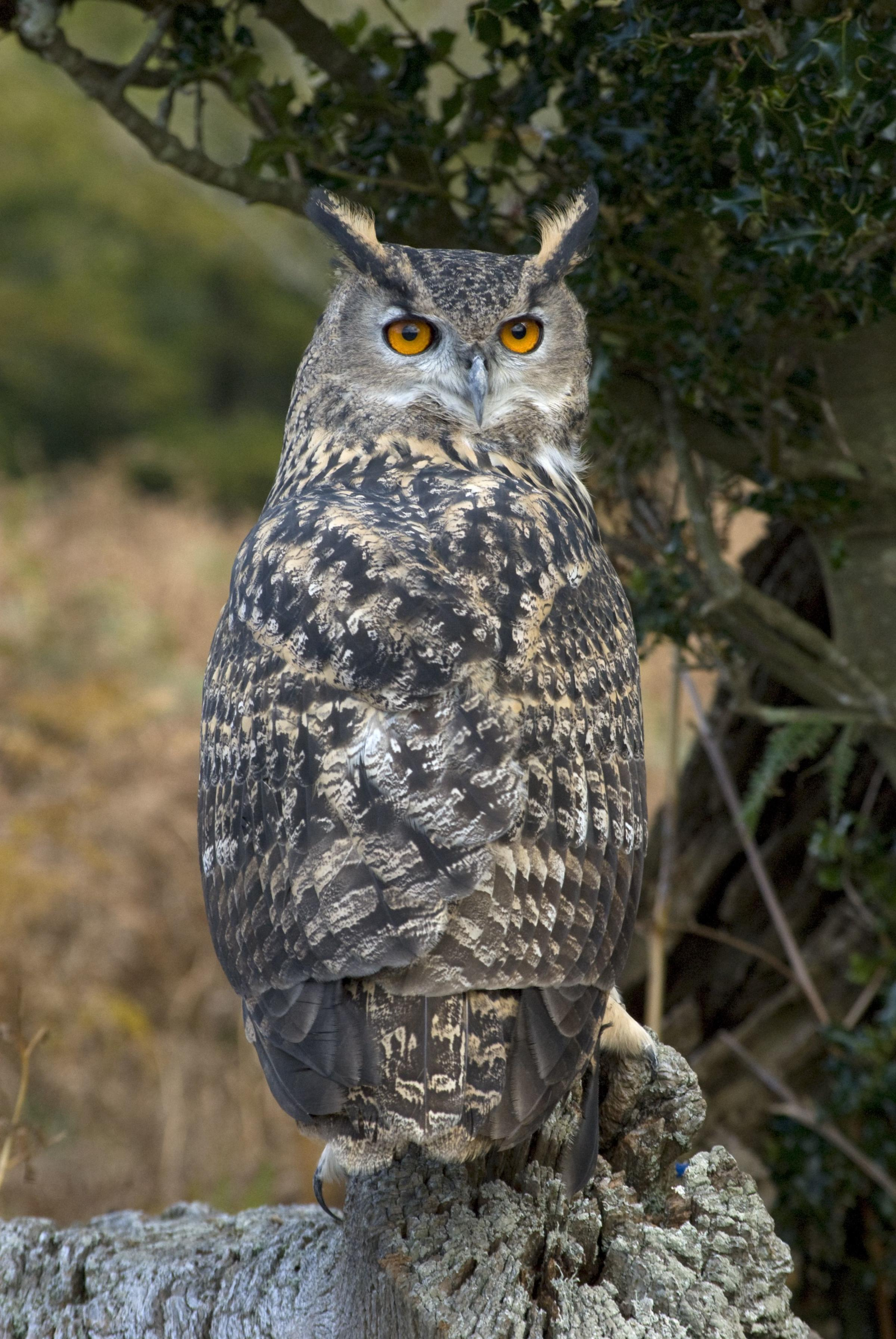 Brexit the European Eagle Owl